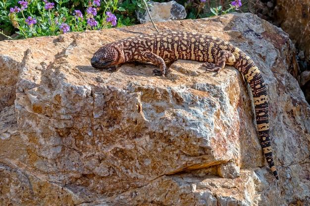 Mexicaanse beaded lizard klimt over een garden boulder