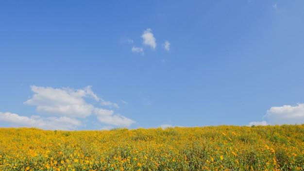 Mexicaanse zonnebloem blauwe hemel bij mae moh-district, lampang-provincie, thailand
