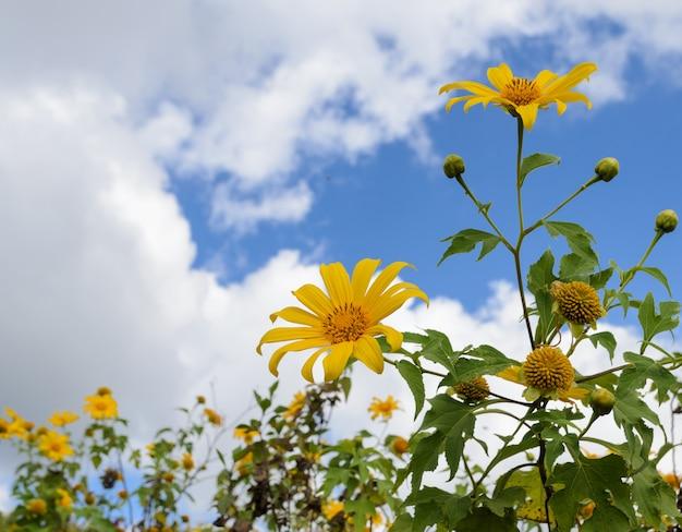 Mexicaanse zonnebloem die in blauwe hemel bloeit