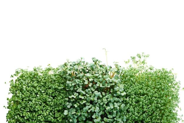 Microgreen broccoli, tuinkers en radijs geïsoleerd op wit. concept van tuinieren en groen binnenshuis kweken