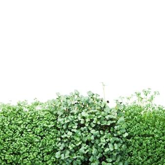 Microgreen broccoli, tuinkers en radijs geïsoleerd op wit.