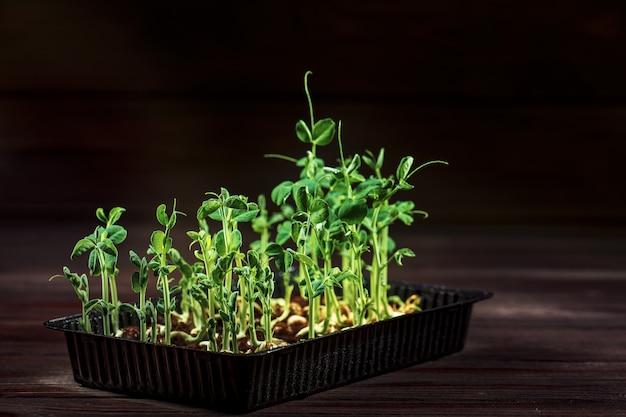 Microgreen erwtenspruiten op oude houten lijst