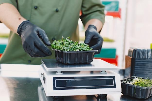 Microgreen korund koriander spruiten in mannelijke handen. rauwe spruiten, microgreens, gezond eten concept. man packs in dozen.
