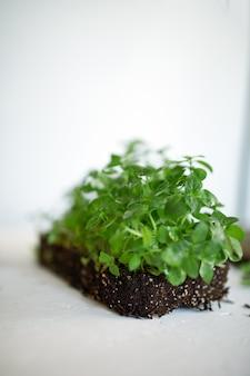 Microgreens basilicum op witte achtergrond, vegan micro zonnebloem greens scheuten, groeiend gezond eten concept, gekiemde zonnebloempitten, bodemsubstraat, kopie ruimte.