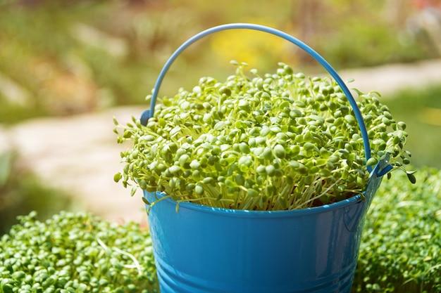 Microgreens. close-up van het kweken van ontsproten rucola.