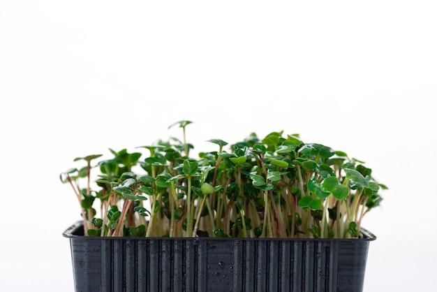 Microgreens van groene radijs 6 dagen op een witte ondergrond met plaats voor tekst