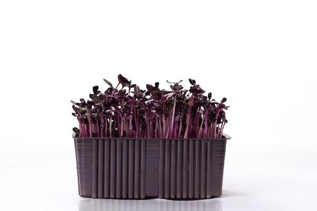 Microgreens van paarse radijs 6 dagen op een wit bord in een bruin plastic bakje