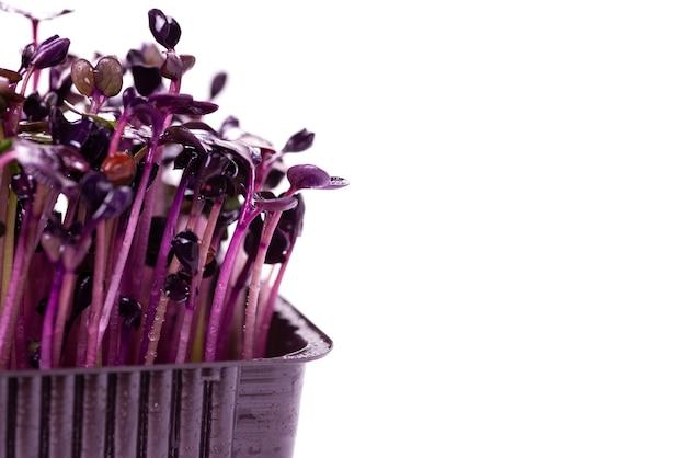 Microgreens van paarse radijs gedurende 6 dagen op een witte ondergrond