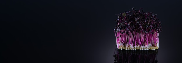Microgreens van paarse radijs op een zwarte achtergrond met plaats voor tekst. microgroenten