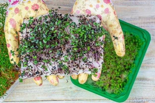 Microgreenspruiten in handen