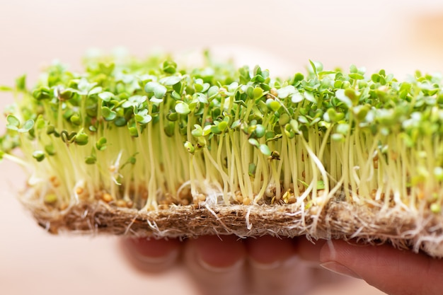 Microgroen. ontsproten mosterdzaad op linnen mat in vrouwelijke handen.