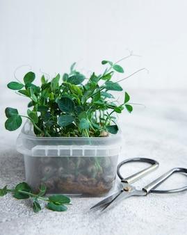 Microgroenten gekiemde erwten zaden ontkiemen microgreens zaadontkieming thuis