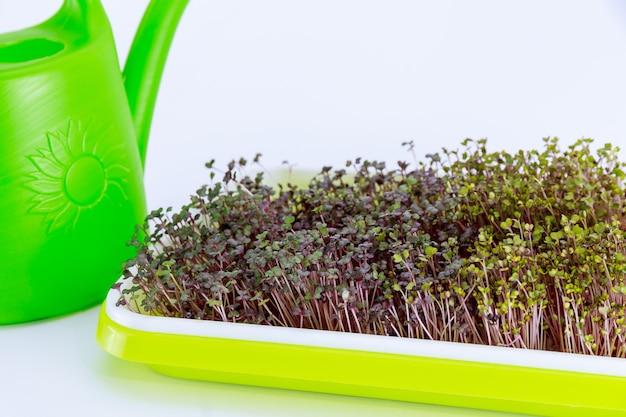 Microgroenten in een lichtgroene tray, thuis gekweekt in een plastic bak. kleine huistuin