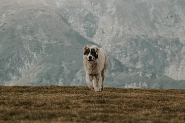 Middelgrote grijs-witte hond met korte vacht op een groene heuvel onder met bergen