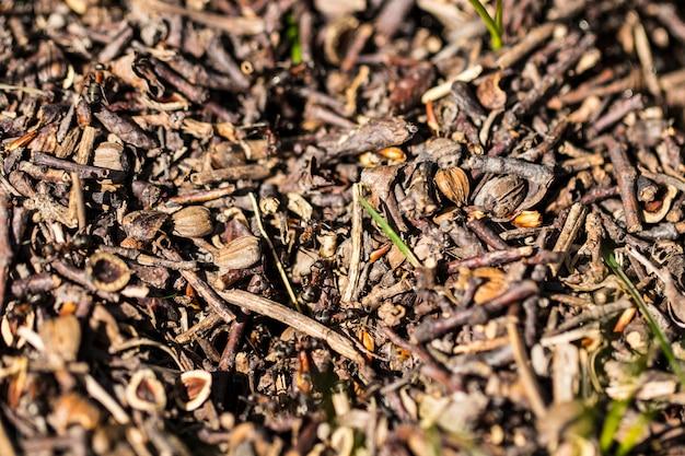 Mieren met grote zwarte kever op de mierenhoop