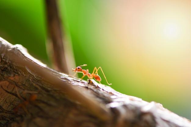 Mierenactie die zich op boomtak bevinden in de ochtend