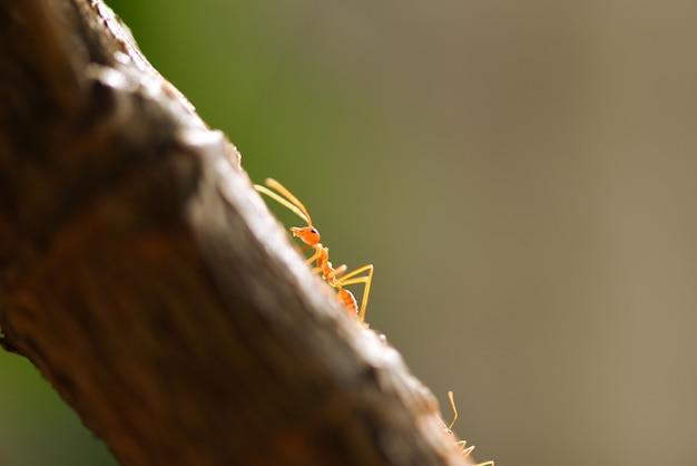 Mierenactie die zich op boomtak bevindt. sluit omhoog de gang macro geschoten insect van de brandmier in aard rode mier.