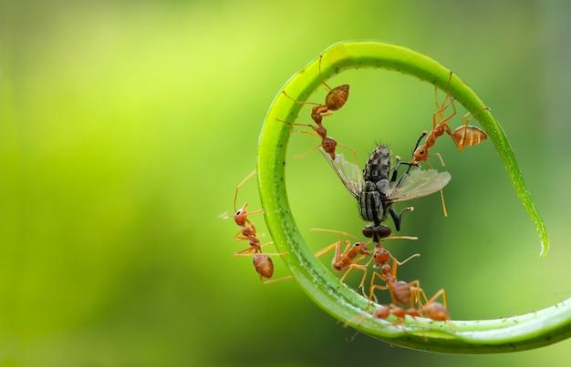 Mierenactie staande mieren klimmen groene wijnstokken conceptteam werkt samen rode mier wever mieren