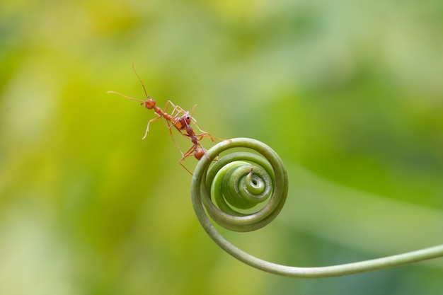 Mierengang op spiraalvormige plant