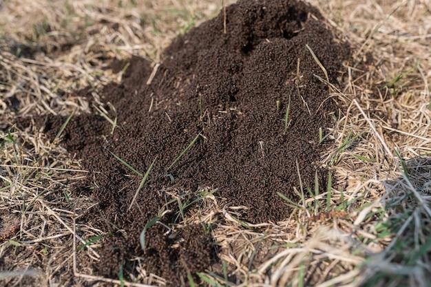 Mierenhoop op droog gras in het bos op een zonnige dag