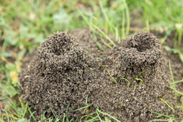 Mierenhoop op een achtergrond van vers groen. details van het wilde leven van mieren.