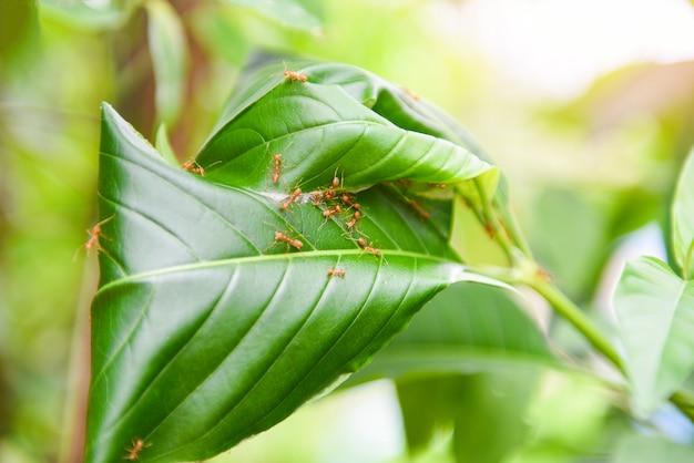Mierennest op de boom, het rode nest van de mieren werkende wever met groene bladeren op het aardbos op de zomer