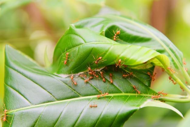 Mierennest op de boom rode mieren die weversnest met groene bladeren werken op het aardbos
