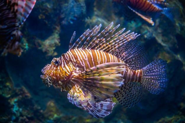 Miles lionfish zwemmen in koraal onder de zee