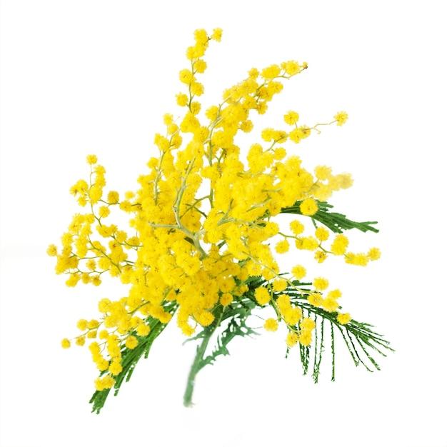 Mimosa plant met ronde donzige gele bloemen