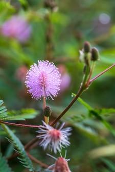 Mimosa strigillosa, ook bekend als zonneschijnmimosa en poederdons in indonesië, putri malu genoemd.