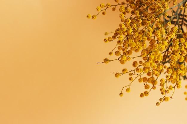Mimosa-tak op oranje achtergrond met kopieerruimte