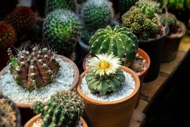 Mini cactus in huiscollecties.