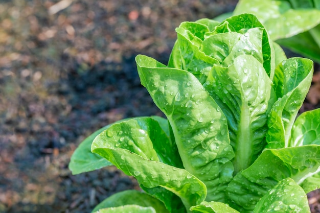 Mini groene cos salade groente groeien in plot