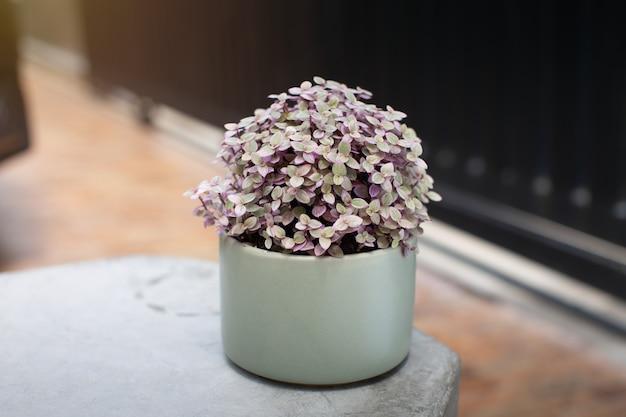 Mini turtle plant of callsia repen pink lady in een groene keramieken pot.