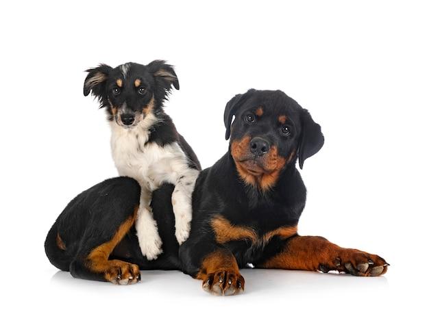 Miniatuur amerikaanse herder en puppy rottweiler voor witte achtergrond
