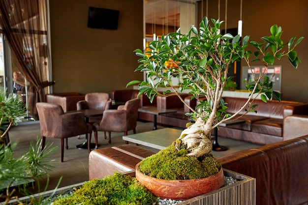 Miniatuur bonsaiboom in restaurant. hoge kwaliteit foto