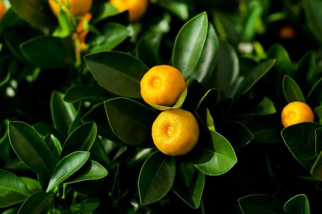 Miniatuur citrusboompjes met fruit in potten te koop in de tuinwinkel.