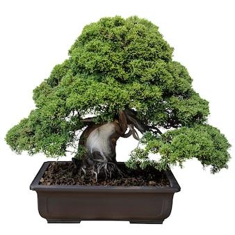 Miniatuur ingemaakte boom in geïsoleerde bonsaistijl