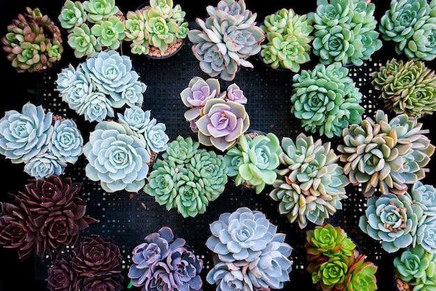 Miniatuur succulente cactus