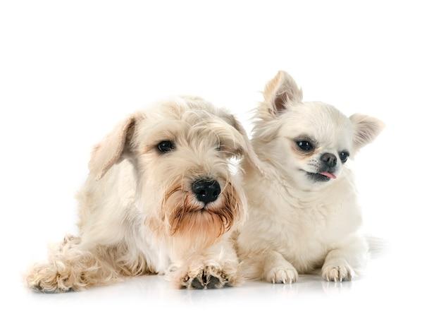 Miniatuur witte schnauzer en chihuahua voor witte achtergrond