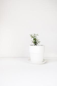 Mirte plant in witte pot op witte achtergrond met ruimte voor tekst