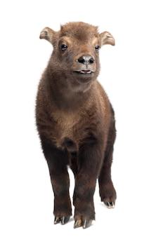 Mishmi takin, budorcas taxicolor taxicol, ook wel cattle chamois of gnu goat genoemd, 15 dagen oud, staand tegen een witte ondergrond Premium Foto