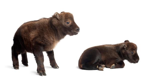 Mishmi takins, budorcas taxicolor taxicol, ook wel cattle chamois of gnu goat genoemd, 10 en 15 dagen oud, staande tegen een witte ondergrond