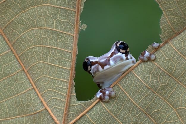 Missie gouden-ogen boomkikker zat op een blad