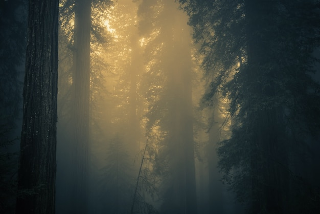Mist in redwood forest