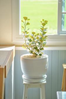 Mistletoe rubber plant is een sierboom die binnen in huis geplant kan worden