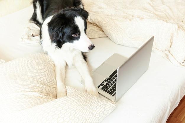 Mobiel kantoor thuis. de grappige hond border collie van het portret leuke puppy op bed het werkende surfen doorbladerend internet thuis gebruikend laptop pc-computer binnen. dierenleven freelance bedrijfsquarantaineconcept.