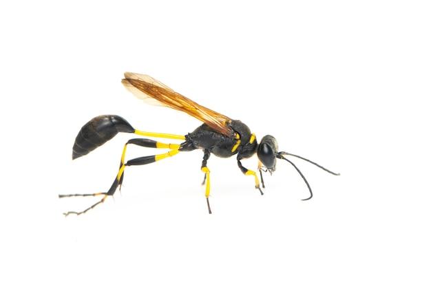 Modder dauber wesp (sphecidae) geïsoleerd. insect. dier.