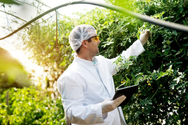 Moderne jonge landbouwer die tomaat bekijkt en status controleert terwijl het houden van een tablet in de serre.