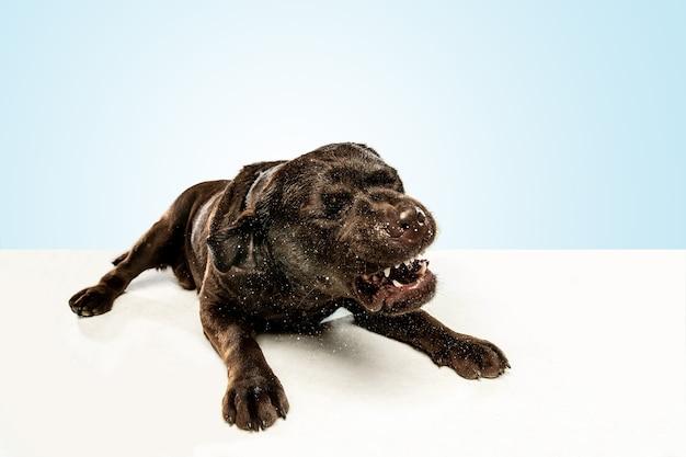 Moe na een stevige wandeling. chocolade labrador retriever hond zit en geeuw in de. binnen schot van jong huisdier. grappige puppy over witte muur.